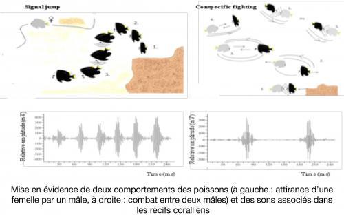 Mise en évidence de deux comportements des poissons (à gauche : attirance d'une femelle par un mâle, à droite : combat entre deux mâles) et des sons associés dans les récifs coralliens.